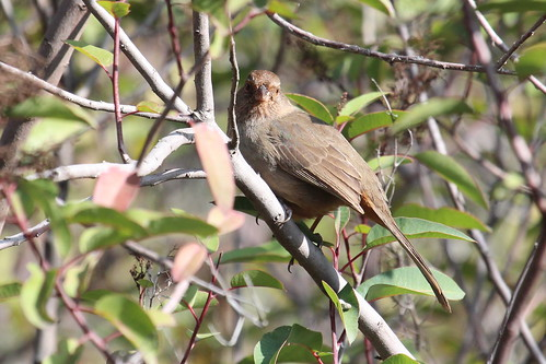 California Towhee by ricmcarthur