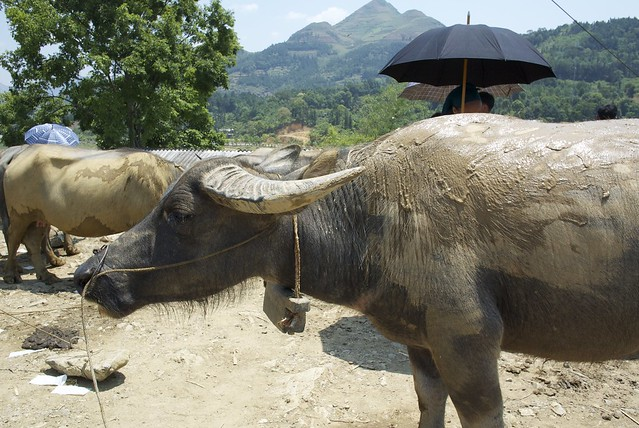 Water Buffalo Market in Bac Ha