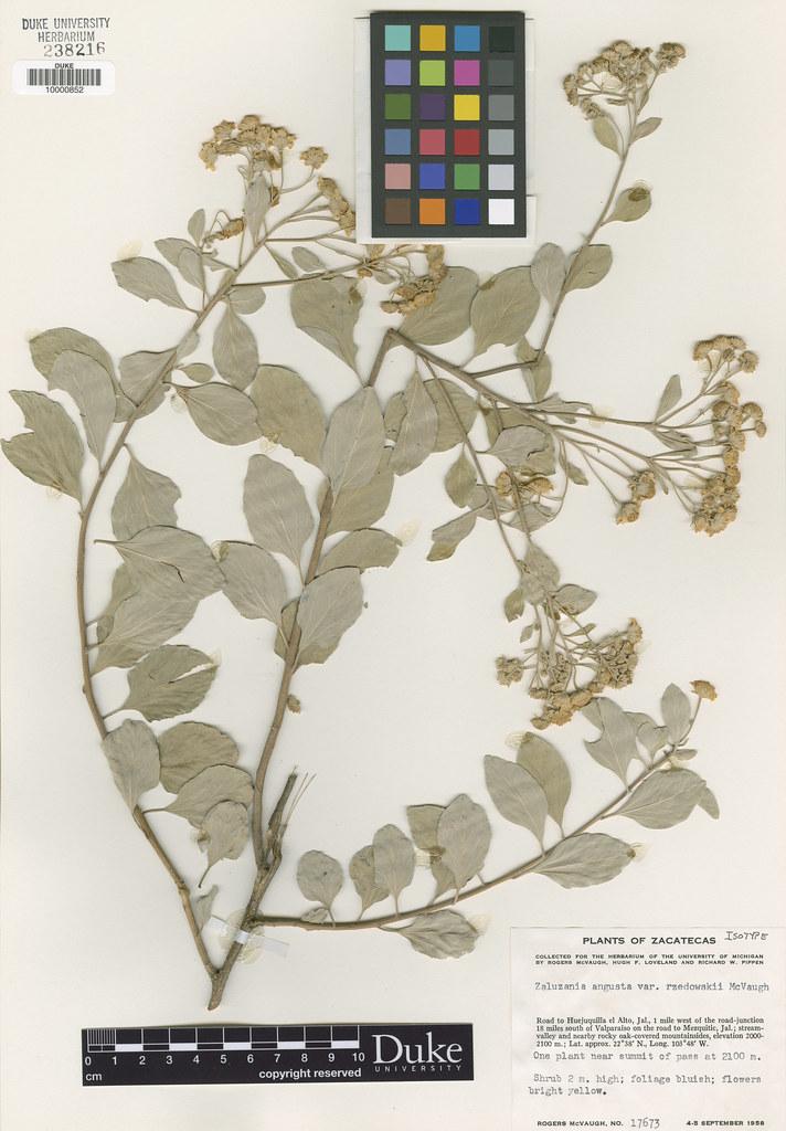 Asteraceae_Zaluzania augusta