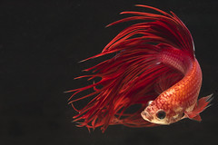 [Free Images] Animals (Others), Fish, Siamese Fighting Fish ID:201212260600