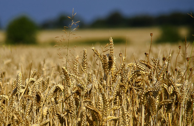 wheat from Flickr via Wylio