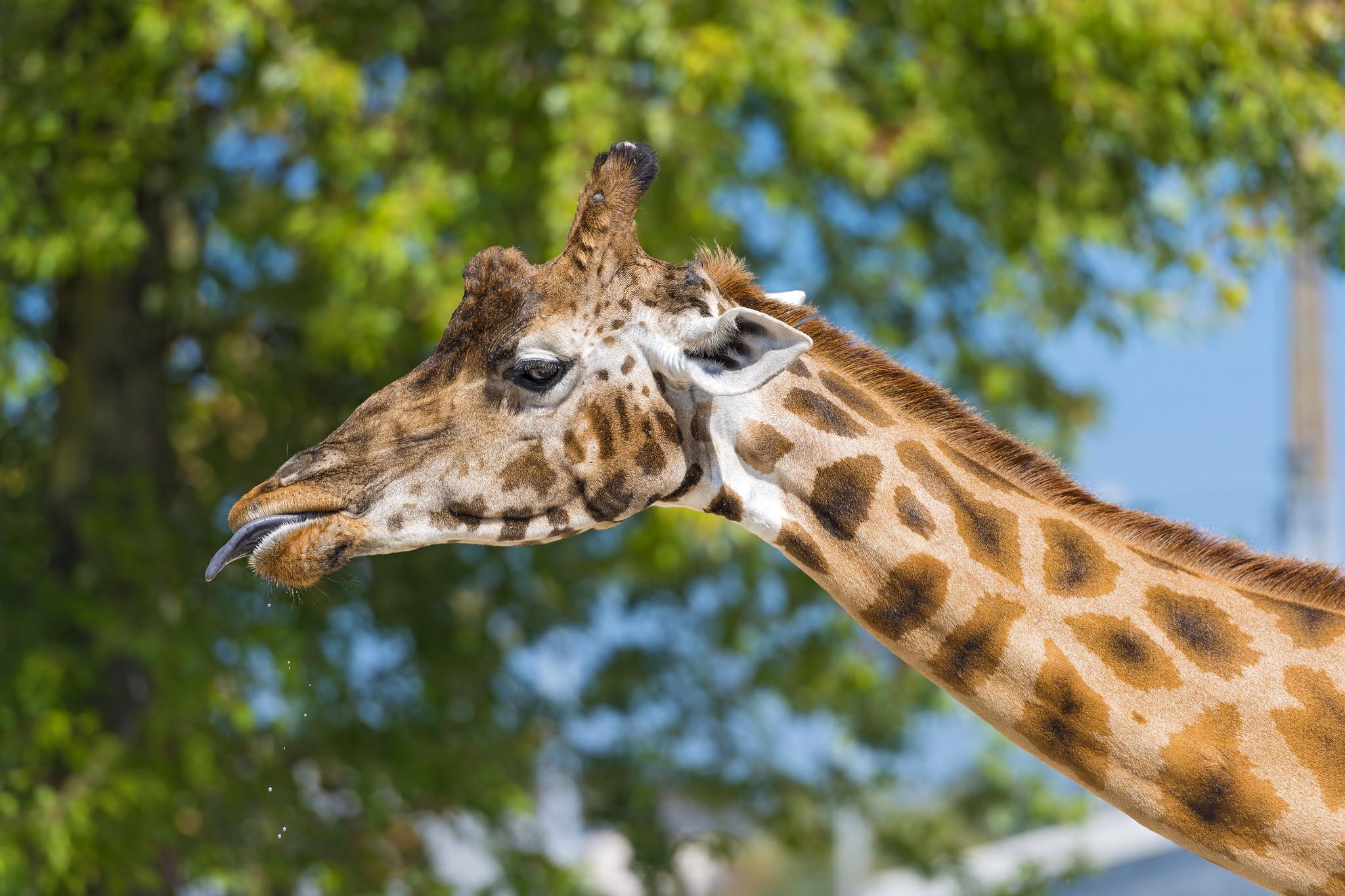 Giraffe head and neck | Flickr - Photo Sharing! - photo#16
