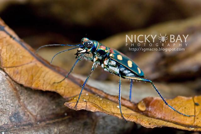 Tiger Beetle (Cicindelinae) - DSC_7026