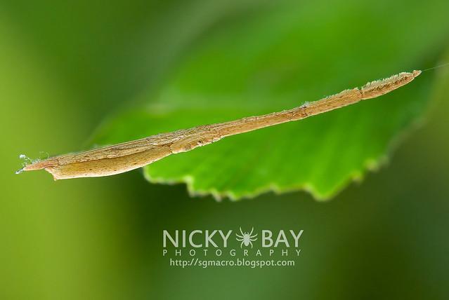 Twig-Like Feather-Legged Spider (Miagrammopes sp.) - DSC_3129