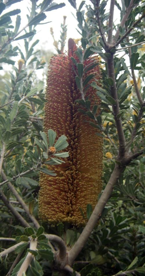 Banksia praemorsa 8325412400_7f7db72a49_o