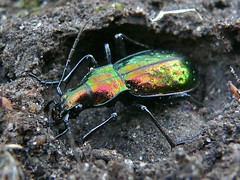 Ground Beetle (Chrysotribax rutilans) hibernating under a stone