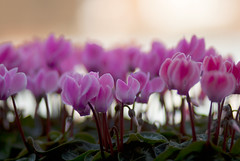 flower, purple, plant, macro photography, flora, cyclamen, close-up, pink, petal,