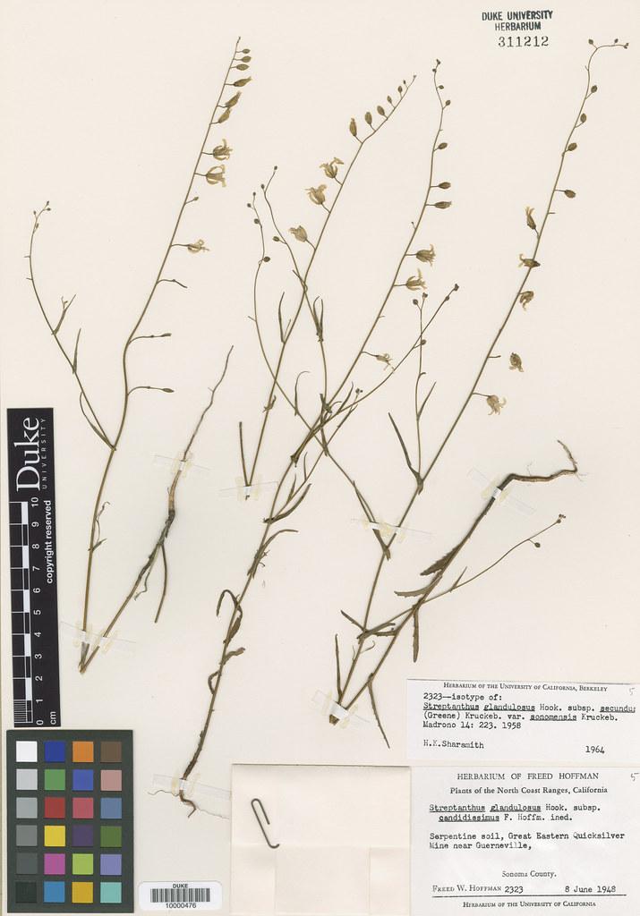 Brassicaceae_Streptanthus glandulosus