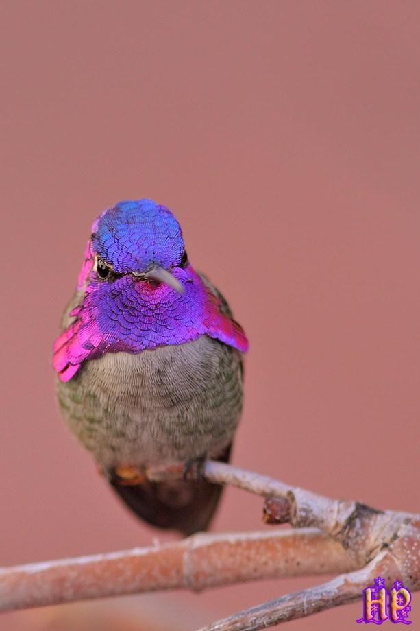 Costa's X Anna's Hybrid Hummingbird 010213-2