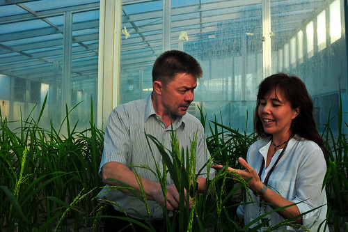 Dr. Eero Nissila and Dr. Inez Slamet-Loedin inspecting rice in the screenhouse.