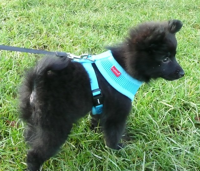pomeranian collar harnesses vs collars for puppy pet forums community 7127
