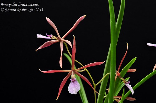 Encyclia bractescens by Mauro Rosim