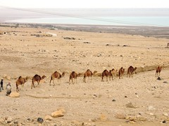 animal, ecoregion, plain, aeolian landform, pack animal, herd, fauna, natural environment, desert, landscape, camel, arabian camel, safari, wildlife,