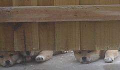Peek A Boo Pups
