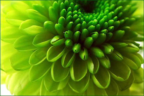 Take macro  (Green Chrysanthemum)