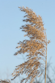 Phragmites communis gone to seed