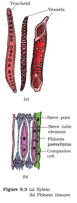 NCERT Class XI Biology: Chapter 6 - Anatomy Of Flowering ...