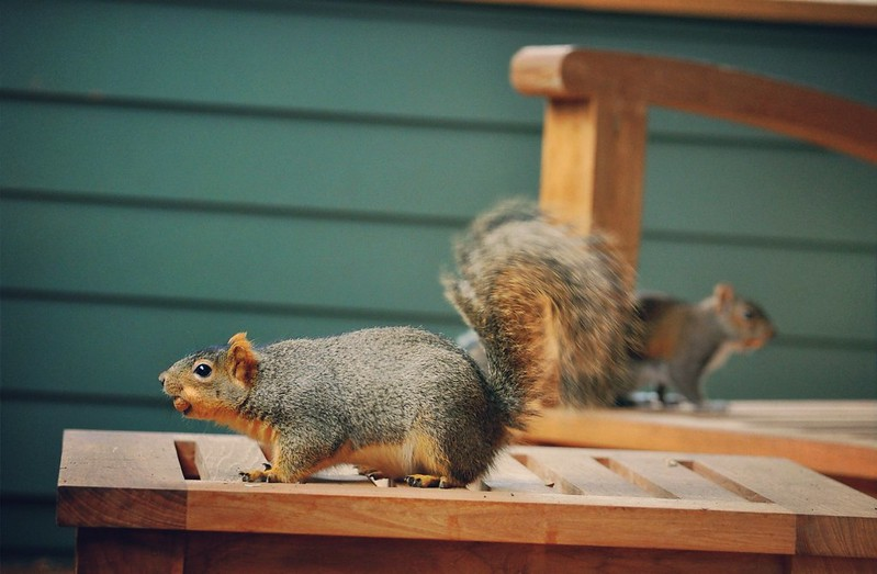 Porch Squirrels I