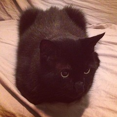 Otto the #catloaf #cat
