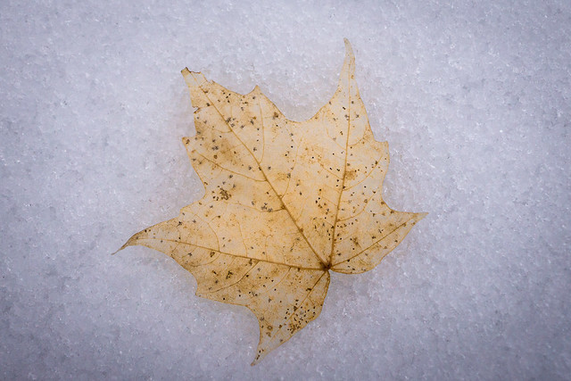 Winter, Snow, Leaf, Maple, Pale