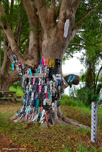 The Community Thong Tree, Chatsworth Island, Clarence River Valley, North Coast, NSW, Australia