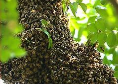 野生蜜蜂在義大利米蘭附近的花園裡築巢。(攝影:La Lince)