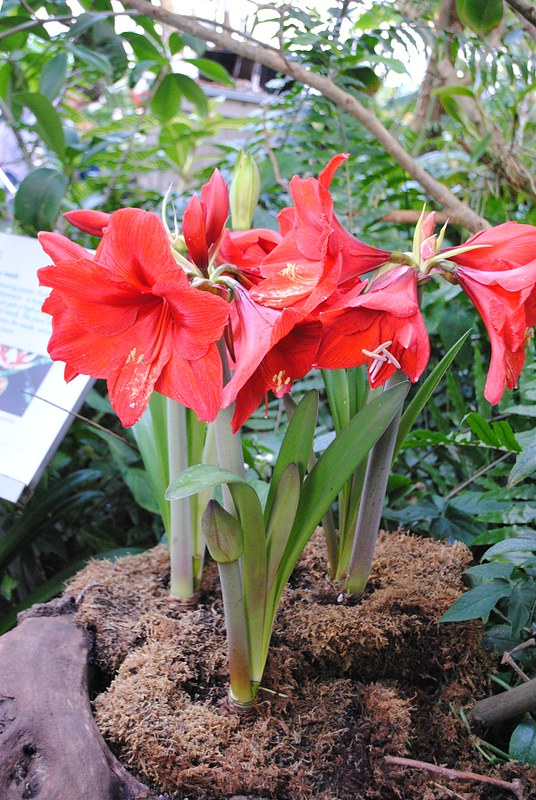 Amaryllis Bunch