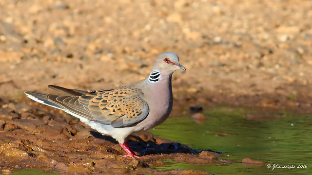 Rola brava - Streptopelia turtur - European Turtle Dove