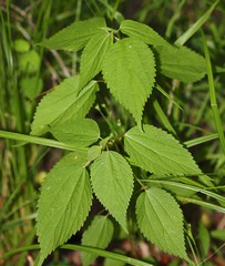 Boehmeria cylindrica, False Nettle