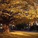 イチョウの巨木