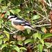 Masked Shrike (Tim Melling)