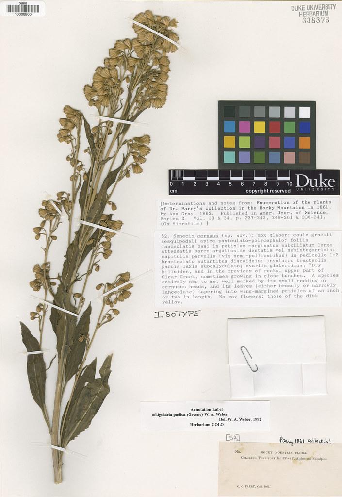 Asteraceae_Senecio cernuus