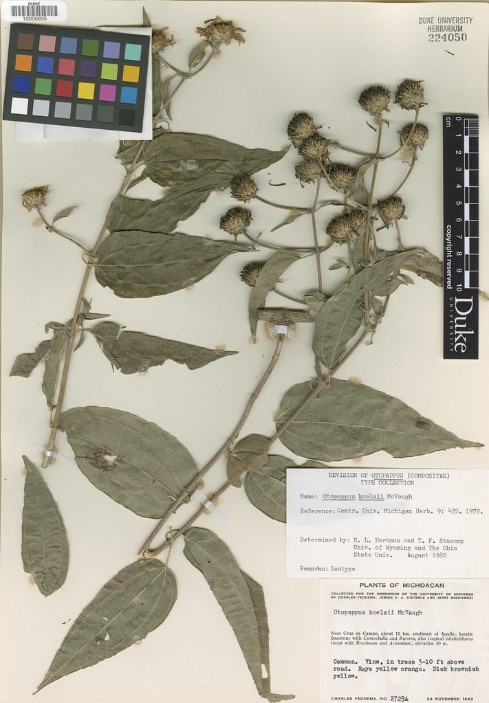 Asteraceae_Otopappus koelzi