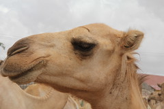 Camel Market (39)