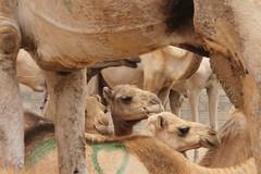 Camel Market (33)