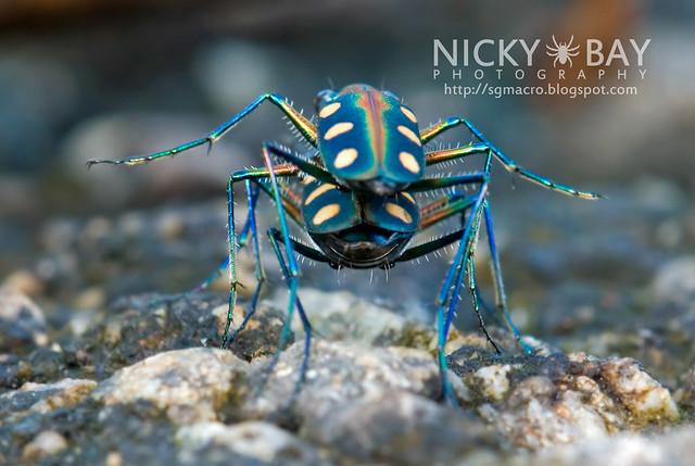 Tiger Beetle (Cicindelinae) - DSC_9824