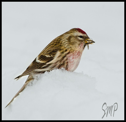 Common Redpoll by UpstateNYPhototaker