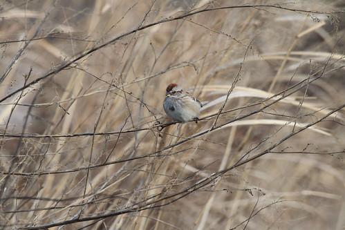 American Tree Sparrow, Prospect Park 12/30/12