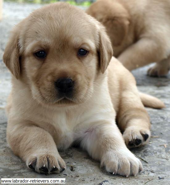 Yellow Purebred Pedigree Labrador Pups 22 Yellow Purebred Flickr