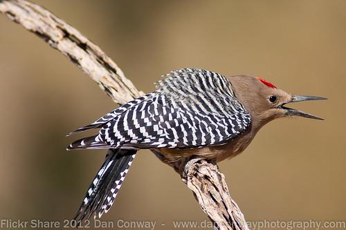 Gila Woodpecker - male by Dan W Conway