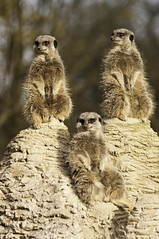 animal, mammal, fauna, meerkat, wildlife,
