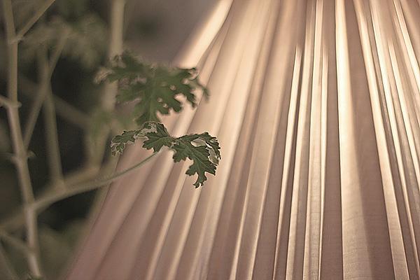 Lampa_pelargonia