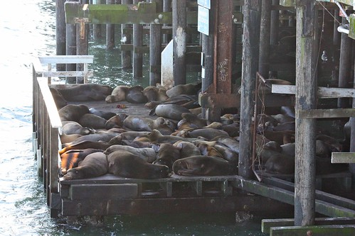 Raft of Sea Lions