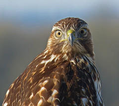 Young Redtail stare