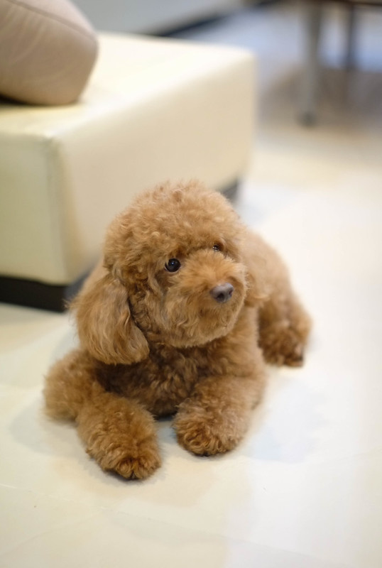 JJ the toy poodle