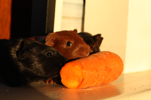 Big Carrot, Little Piggies