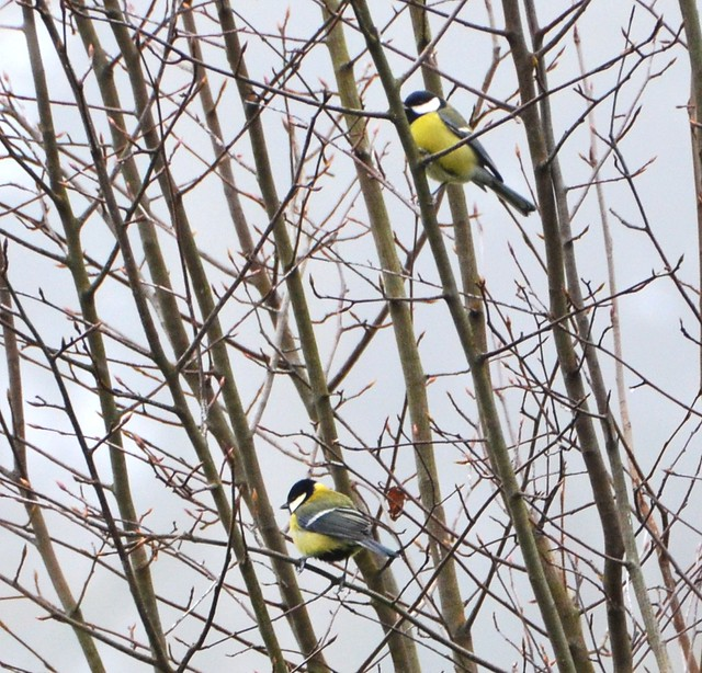 two yellow tits