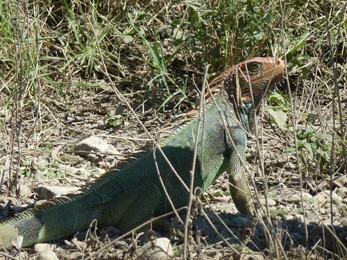 Onderweg - iguana