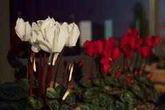 macro photography(0.0), flower(1.0), red(1.0), plant(1.0), flora(1.0), cyclamen(1.0), floristry(1.0), petal(1.0),