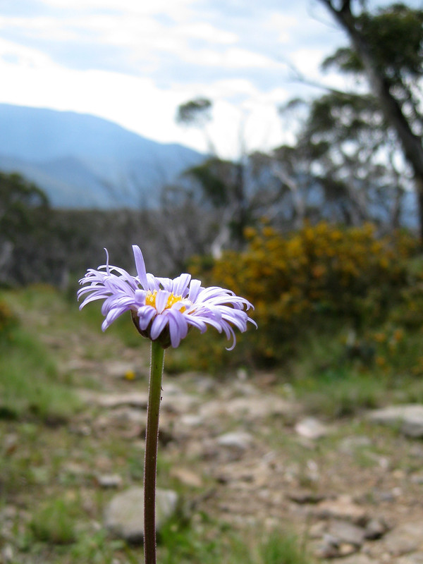 Another flower on the track - Mount Wills - Alpine National Park - Victoria - Australia